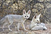 Cape foxes (Vulpes chama), lying mother with standing young at dusk, Kgalagadi Transfrontier Park, Northern Cape, South Africa, Africa.