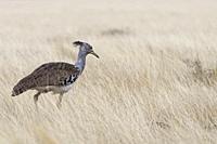 Kori bustard (Ardeotis kori), looking for prey in high dry grass, Etosha National Park, Namibia, Africa.
