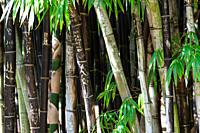Bamboo at Sydney Botanical gardens, New South Wales, Australia.