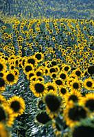 Sunflower field in the Marche, Italy, Europe.