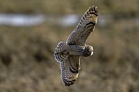 Hunts by flying low over the ground, often hovering before dropping on prey. Reportedly finds prey mostly by sound but also by sight. May hunt by day,...