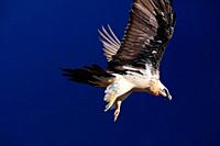 Bearded vulture (Gypaetus barbatus) in flight in the Ordesa y Monte Perdido national park. Huesca.
