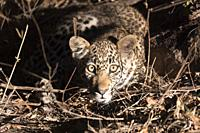 Africa, Southern Africa, South African Republic, Mala Mala game reserve, savannah, African Leopard (Panthera pardus pardus), young.