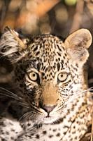 Africa, Southern Africa, South African Republic, Mala Mala game reserve, savannah, African Leopard (Panthera pardus pardus), young resting.