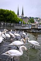 Geese and ducks are walking along the embankment of Lucerne, north-central Switzerland, Europe.