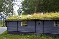 Goats grazing on a hut with green roof. These houses are very typical in rural areas, Kaupanger, Norway.