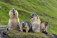 Alpine Marmot, Marmota marmota, group of animals, Hohe Tauern National park, Austria.