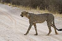 Cheetah (Acinonyx jubatus), male crossing a dirt road, Kgalagadi Transfrontier Park, Northern Cape, South Africa, Africa.