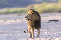 Africa, Southern Africa, South African Republic, Mala Mala game reserve, savannah, Lion (Panthera leo).