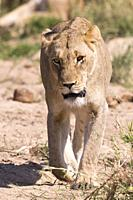 Africa, Southern Africa, South African Republic, Mala Mala game reserve, savannah, Lion (Panthera leo), female walking.