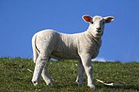 Domestic Sheep; Ovis aries; Schleswig-Holstein; Germany.