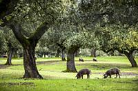 Black iberian pig in grasslands of Extremadura. Spain