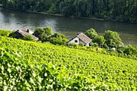 Vineyards on the Rhine, Rhineland-Palatinate, Germany, Europe.