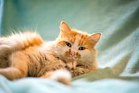 portrait of red and white cat lying on blue blanket.