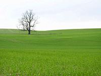 solitary tree in winter near Monbazillac, Dordogne Department, Aquitaine, France.