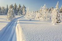 Snowmobile track in the snow with snowy spruce trees and blue skye and warm light, Gällivare, Swedish Lapland, Sweden.