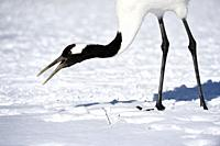 Japanese cranes, tancho, in winter, Kushiro, Hokkaido, Japan, Asia.