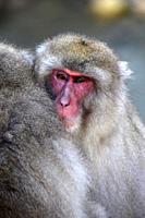 Japanese Macaque snow monkey at Jigokudani Monkey Park near Nagano,Honshu,Japan,Asia.