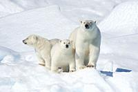 Polar Bear, Ursus maritimus, Mother with Two Cubs, North East Greenland Coast, Greenland, Arctic.