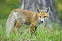 Red Fox, vulpes vulpes, Young Fox, Germany, Europe.
