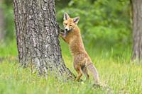Red Fox, vulpes vulpes, Young Fox, stands at the tree trunk, Germany, Europe.