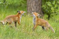 Red Fox, vulpes vulpes, Two Young Foxes Fighting, Germany, Europe.