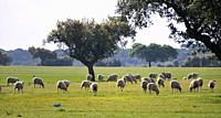 Holm oaks and a flock of sheep in Alentejo, Portugal.