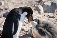 Antarctica. Adelie penguins (Pygoscelis adeliae) on the rocky beach of Brown Bluff. Adélie penguin feeding its chick by regurgitating what he has just...