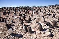 Group of Adelie penguins chicks (Pygoscelis adeliae) in colony. Paulet Island near the Antarctic Peninsula, Antarctica.