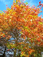 Tree in autumn colours in Brittany