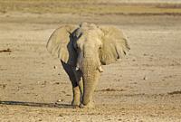 African Elephant (Loxodonta africana). Bull on his way to a waterhole. Etosha National Park, Namibia.