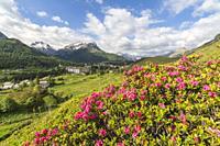 Rhododendrons in bloom, Maloja, Bregaglia Valley, Canton of Graubunden, Engadin, Switzerland.