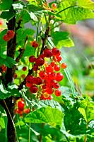 Redcurrant plant with berries in France.