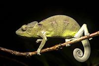 Juvenile Panther chameleon (Furcifer pardalisi), (Chameleonidae), endemic to Madagascar, Ankanin Ny Nofy, Madagascar.