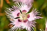 Dianthus monspessulanus, common name the fringed pink, is a herbaceous perennial plant of the genus Dianthus belonging to the Caryophyllaceae family. ...