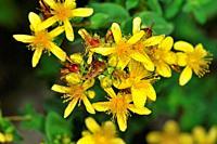 St. John´s-wort flower (Hypericum sp., fam. Hypericaceae), Sorteny valley Natural Park. Andorra. Europe.