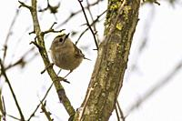 Germany, Saarland, Homburg - A goldcrest is sitting on a branch.