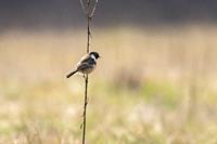 Germany, Saarland, Homburg - A stonechat on his vantage point.