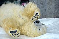 A polar bear, Ursus maritimus, at Asahiyama Zoo in Hokkaido, Japan, Asia.