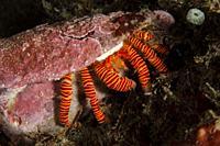 Halloween Hermit Crab (Ciliopagurus strigatus) with bright banded legs in Cone shell (Conus sp. ), Segara dive site, Seraya, Bali, Indonesia.