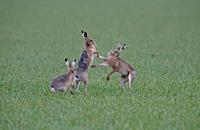 Brown Hares- Lepus europaeus, boxing in the rain. Spring. Uk.