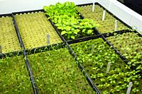 Hydroponic Agriculture. Assorted Seedlings (Basil at top) Awaiting Transplanting. Dyersville, Iowa, USA.