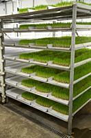 Hydroponic Agriculture, Cultivation of Barley Fodder. 1 tray will produce enough feed for 1 cow or 1 horse for 14 cents a day. Dyersville, Iowa, USA.
