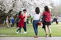 Seattle, Washington: A young couple pose for a photo during the blooming off the cherry trees at the University of Washington. Initially planted at th...