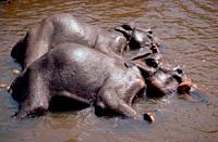 The Indian Elephants of Pinnawela Conservation Reserve taking a cooling bath in the river.