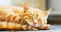 Pretty Cat Sleep. Peaceful Orange Red Tabby Male Kitten Curled Up Sleeping.