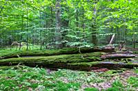 Fresh deciduous stand in summertime with dead broken oak in foreground moss wrapped,Bialowieza Forest,Poland,Europe.