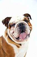 A young traditional British Bulldog sitting on a white seamless background looks round mischievously at the camera.