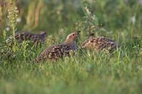 A flock of Grey Partridges ( Perdix perdix ) searching for food in a natural meadow, last evening light, wildlife, Europe.
