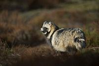 Raccoon Dog ( Nyctereutes procyonoides ) stands in spotlight on a clearing, watches attentively aside.